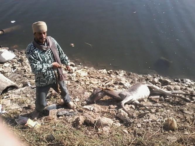 حيوانات نافقه فى مياه النيل بمحافظة سوهاج