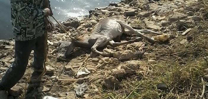 بالصور.. حيوانات نافقة أمام محطة مياه سوهاج (حملة #أنقذوا_النيل)