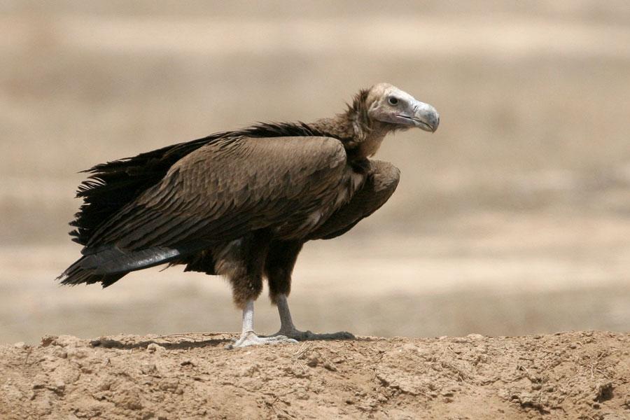 lappet-faced-vulture3059