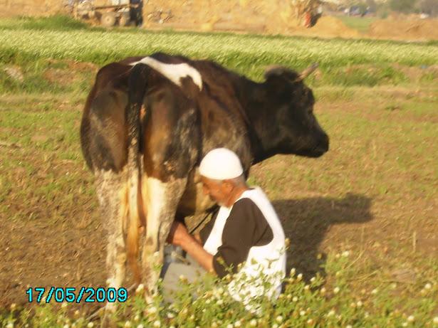 ابوالزين يحلب البقرة