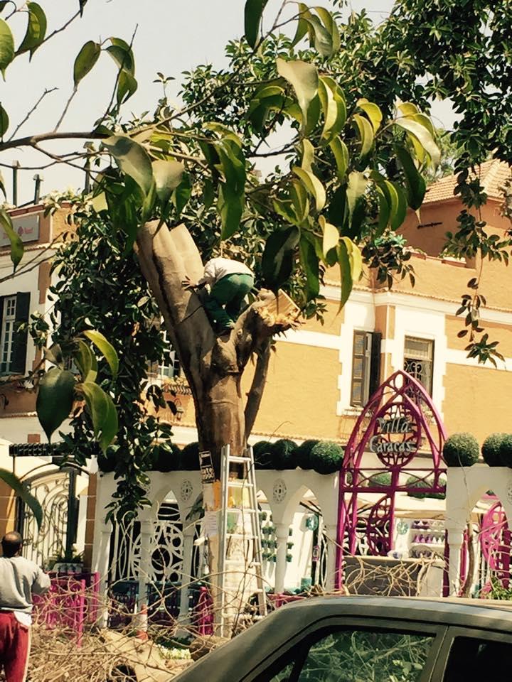 مطعم كاراكاس ينفذ مذبحة أشجار في المعادي (آية عبدالله)