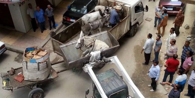 بالصور.. رفع حمير نباشي القمامة بـ«البلدوزر» للعربات خلال حملة بالإسكندرية 📷