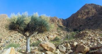 اشجار التنين الاومبت جبل علبه