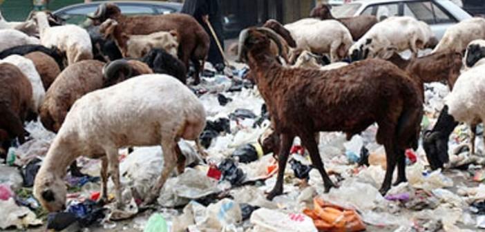 انتشار رعي الأغنام والقمامة في أحياء الزقازيق 📷