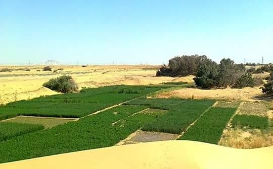 «طليب» الخارجة.. عندما تلتقي الرمال الذهبية بأراضي الوادي الجديد الخضراء 📷