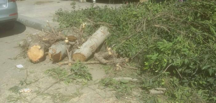 بالصور.. مذبحة للأشجار الكبيرة في شوارع بالإسكندرية بأوامر من المحافظة 📷