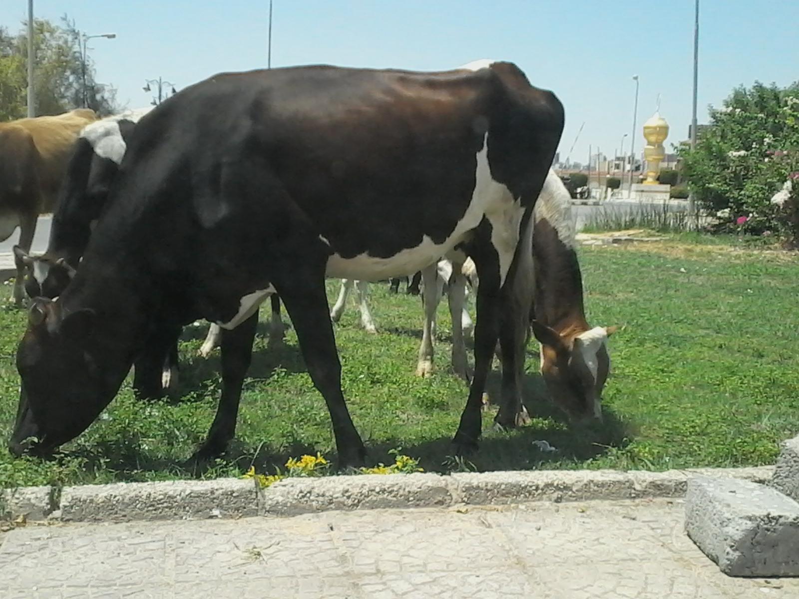 رعي حيوانات في الحدائق العامة بالسويس.. ومواطن: تتكرر كثيرًا