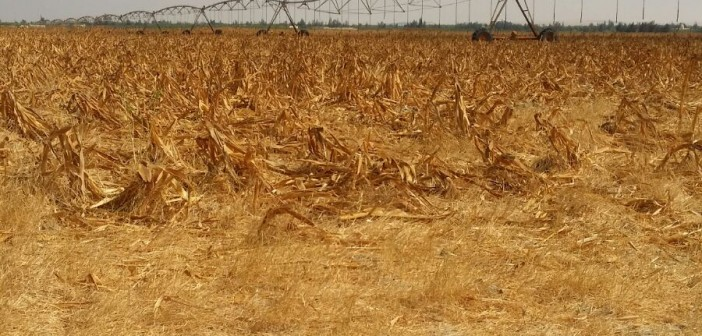 غياب مياه الري منذ 6 أيام يهدد أراضي بالقنطرة.. و مزارع: «الشجر هيموت»