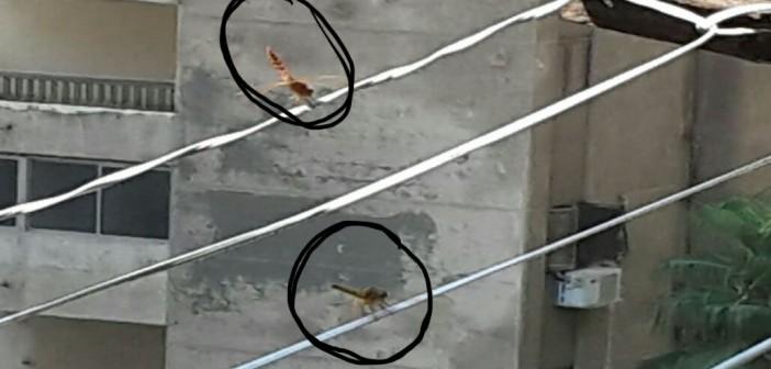 بالصور.. أسراب من الدبابير تغزو الإسكندرية.. وتثير رعب المواطنين
