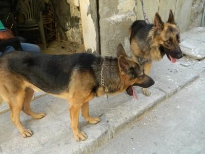 قصة هواية تربية الكلاب في الأحياء الشعبية بالإسكندرية (صور)