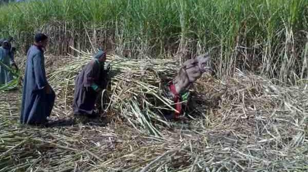 أزمة صناعة السكر في مصر.. وارتفاع تكاليف زراعة القصب