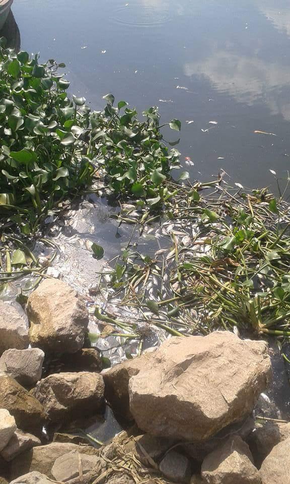 بالصور.. نفوق أسماك في نهر النيل بالمنوفية