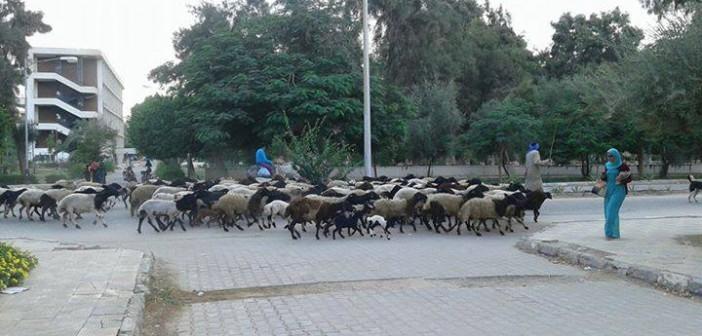 بالصور.. رعي أغنام داخل جامعة المنيا 📷