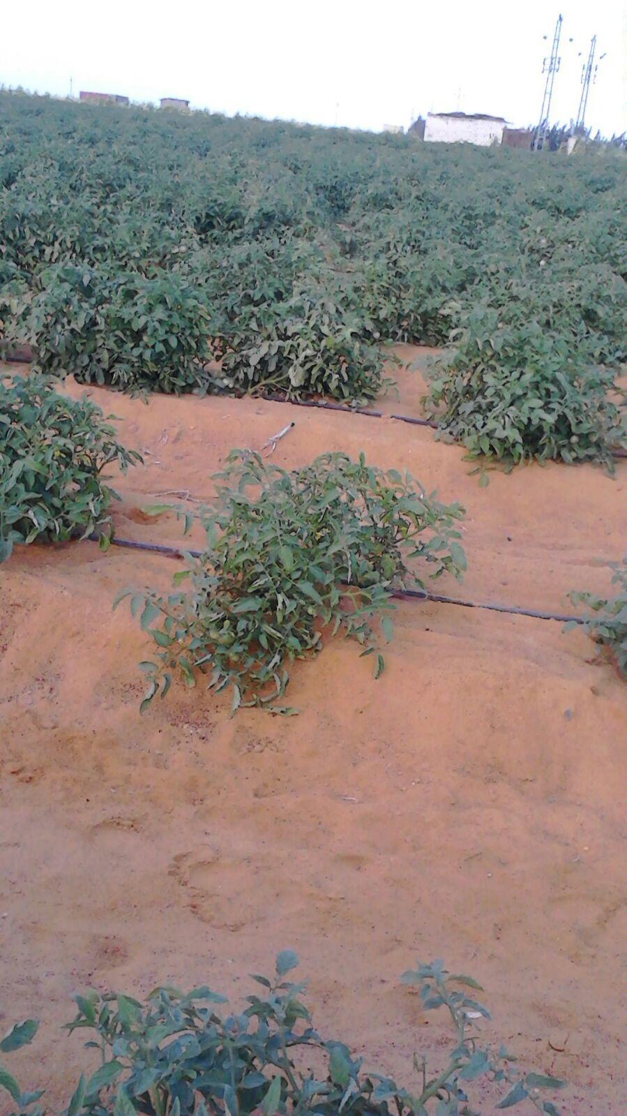 البحيرة: غلاء أسعار الطماطم والخضروات مُستمر حتى أوائل ديسمبر