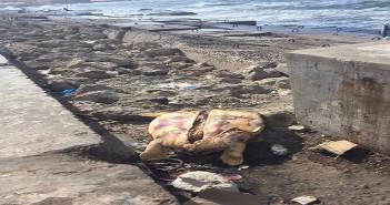 بالصور.. سلاحف ميتة على شواطىء الإسكندرية.. وكابتن بحري: «جريمة»