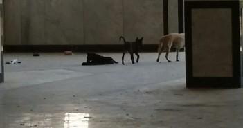 بالصور.. كلاب تتجول في مباني جامعة أسيوط