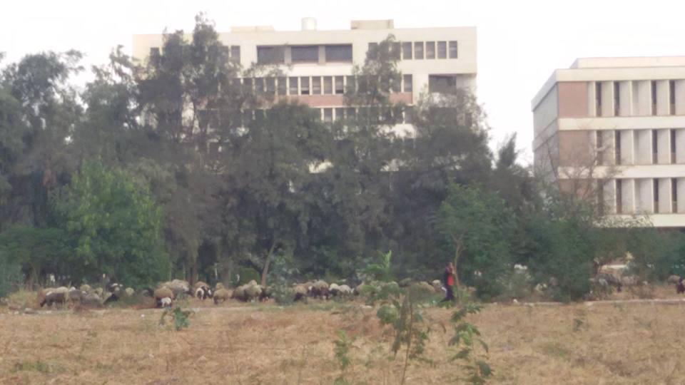 بالصور.. رعي أغنام داخل جامعة المنيا