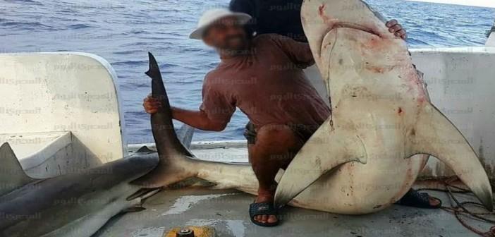 بالصور.. صيد أسماك قرش قرب شواطىء الإسكندرية.. وصياد: إحداها طولها 3 أمتار 📷