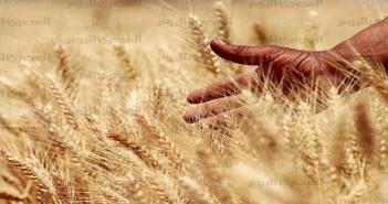 أرشيفية ـ موسم حصاد القمح في مصر