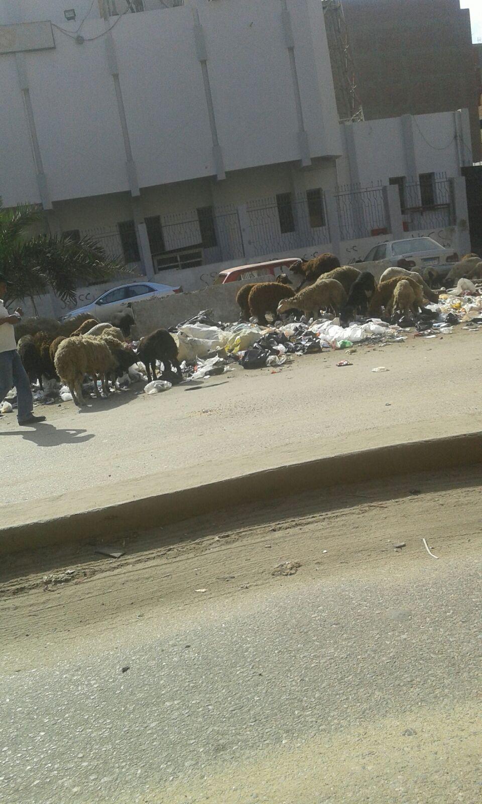 انتشار القمامة ورعي الأغنام أمام سنترال بولاق الدكرور الرئيسي