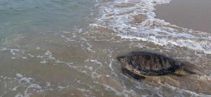 بالصور والفيديو.. إنقاذ سلحفاة نادرة وإعادتها للبحر بعد تعرضها للتعذيب بالفيوم