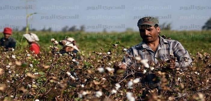 300 من فلاحي كفر الشيخ لم يتسلموا مقابل إنتاجهم القطن: «مش هانزرعه تاني»