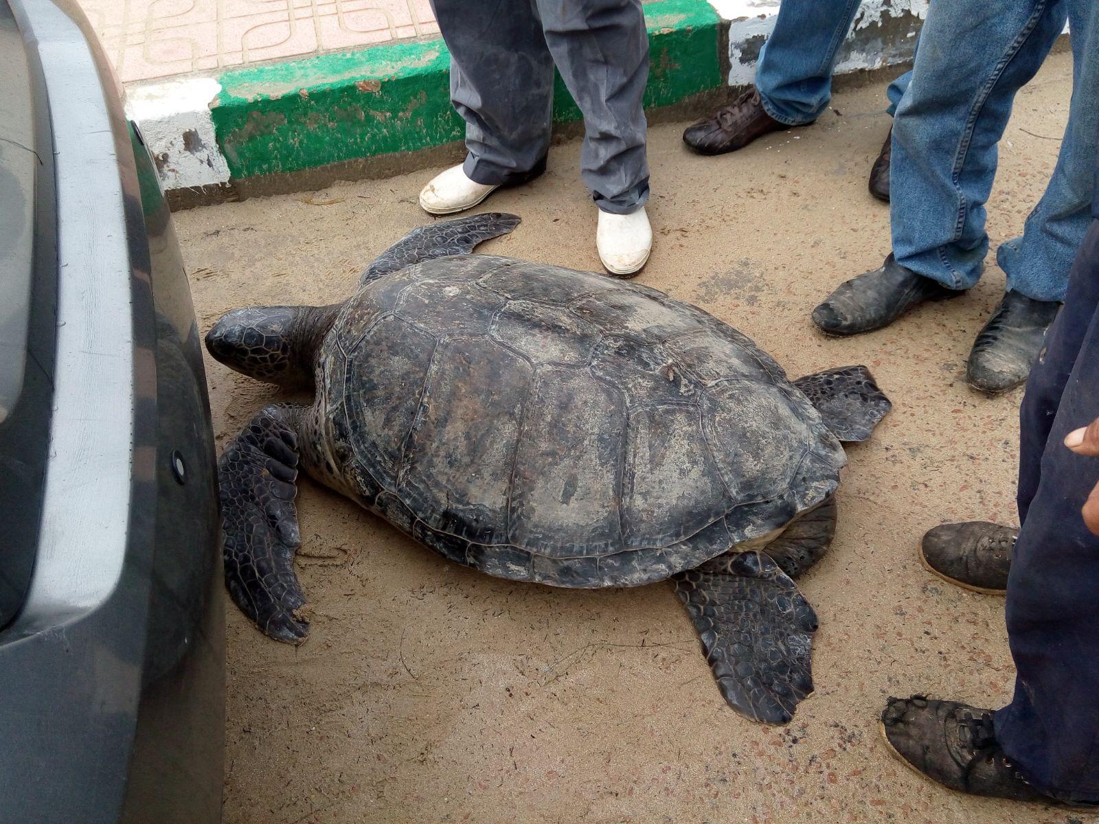 نقاذ سلحفاة نادرة وإعادتها للبحر بعد تعرضها للتعذيب بالفيوم