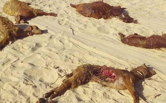 📸كلاب ضالة تهاجم ماشية قرية في بئر العبد بشمال سيناء