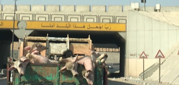 مأساة نقل الماشية في مصر.. مشهد يومي مُكرر في أرجاء المحروسة