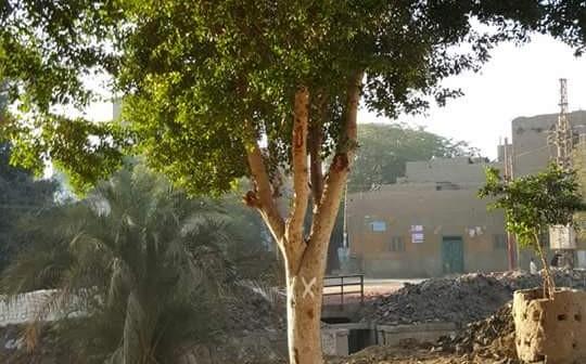 «الري» تأمر بقطع أشجار في «نجع العرب» بسوهاج.. واستياء المواطنين
