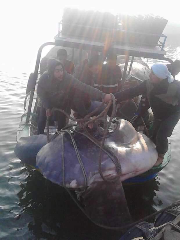 صياد وأولاده من رشيد يصيدون سمكة «شمس المحيط» النادرة