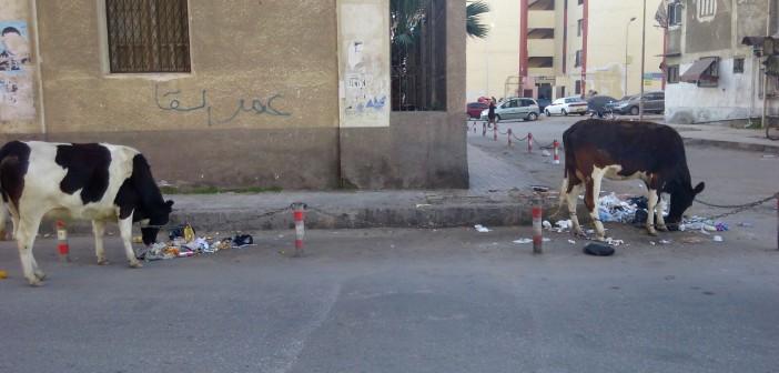 بالصور.. أبقار تتجول بشوارع بورسعيد.. وتتغذى على مخلفات القمامة