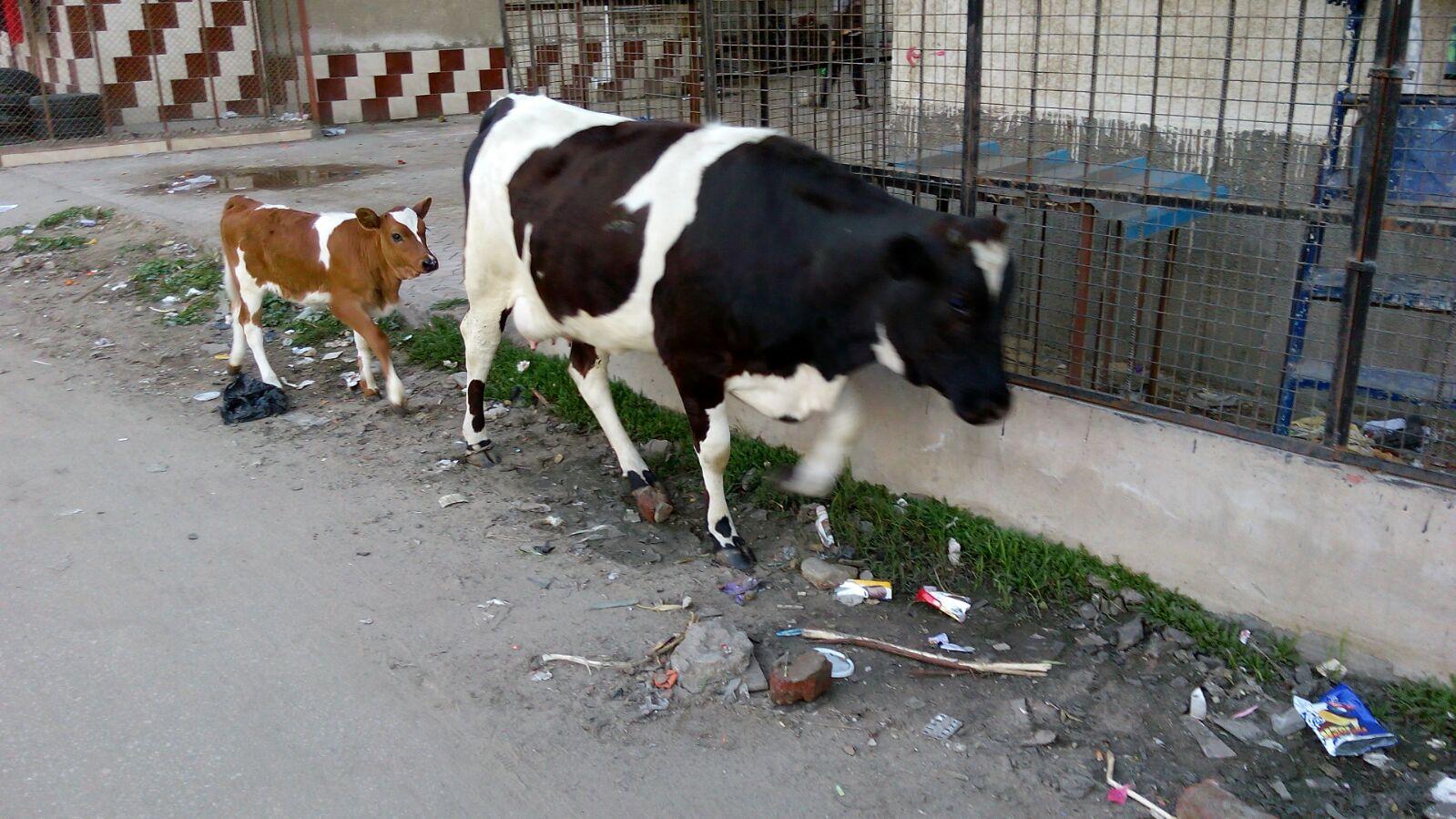 أبقار تتجول بشوارع بورسعيد.. وتتغذى على مخلفات القمامة