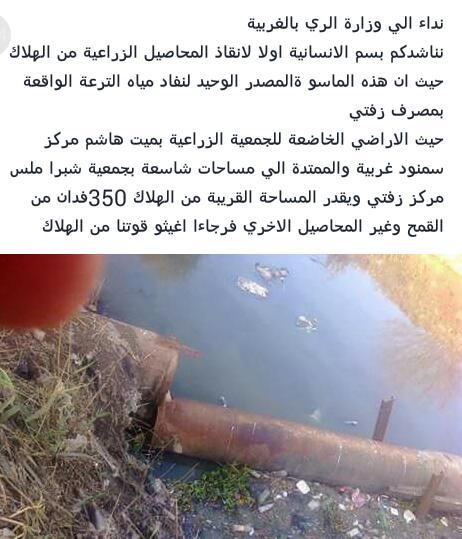 350 فدان قمح مُهدد بالهلاك في نطاق «ميت هاشم» و«شبرا ملس» بالغربية
