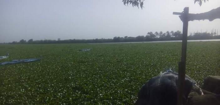 بالصور.. «ورد النيل» يغزو نهر النيل بالبحيرة.. ومطالب بإزالته