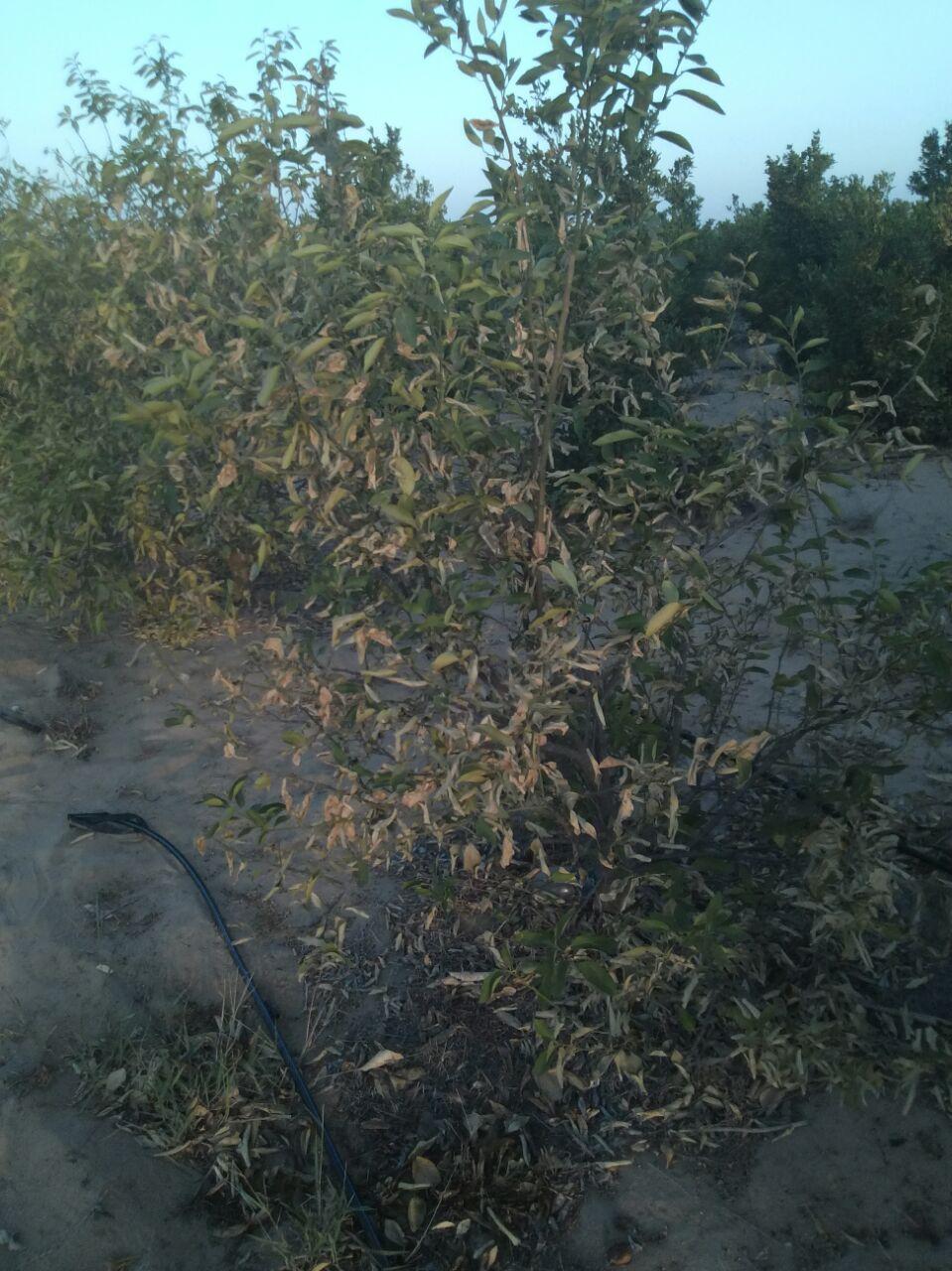 مزارعو الإسماعيلية يشكون غياب مياه الري: الشجر نزل طرحه.. والمية لمزارع السمك