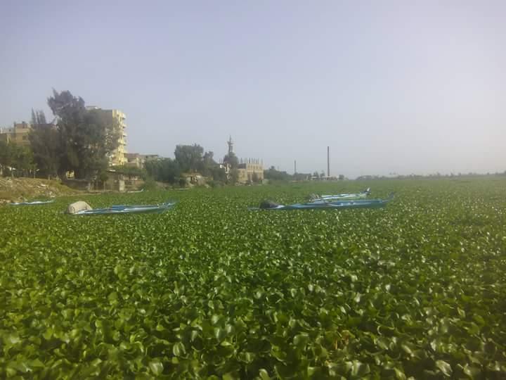 بالصور.. «ورد النيل» يغزو نهر النيل بالبحيرة.. ومطالب من الأهالي بإزالته