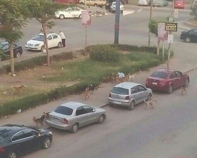 استياء سكان شارعي الرياضة والقباني بمدينة نصر من انتشار الكلاب الضالة (صور)