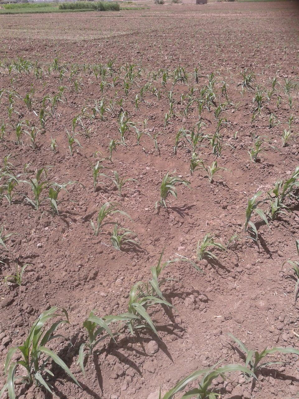 بالصور.. عطش أراضي سوهاج.. ومزارع: «وصلوا صوتنا للمسؤولين.. الزرع دبل»