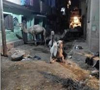 مواطنون يشكون تحول شوارع في طوخ تتحول إلى حظائر للحيوانات (صور)