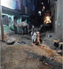 مواطنون يشكون تحول شوارع في طوخ لحظائر ماشية (صور)