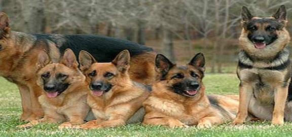 مواطن يطالب بمنع تواجد كلاب الحراسة بالشوارع (صورة)