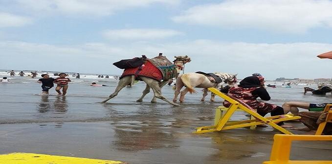 جمل يقضي حاجته على شاطئ رأس البر بدمياط (صورة)