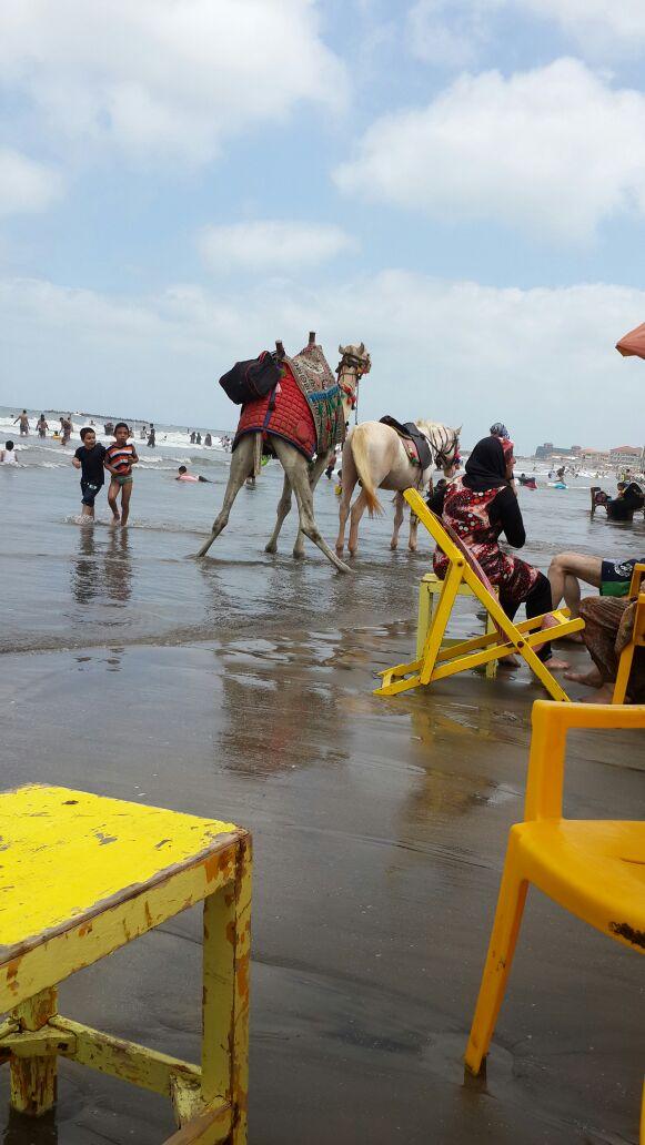 جمل يقضي حاجته على شاطئ رأس البر بدمياط وسط استياء من المصطافين (صورة)