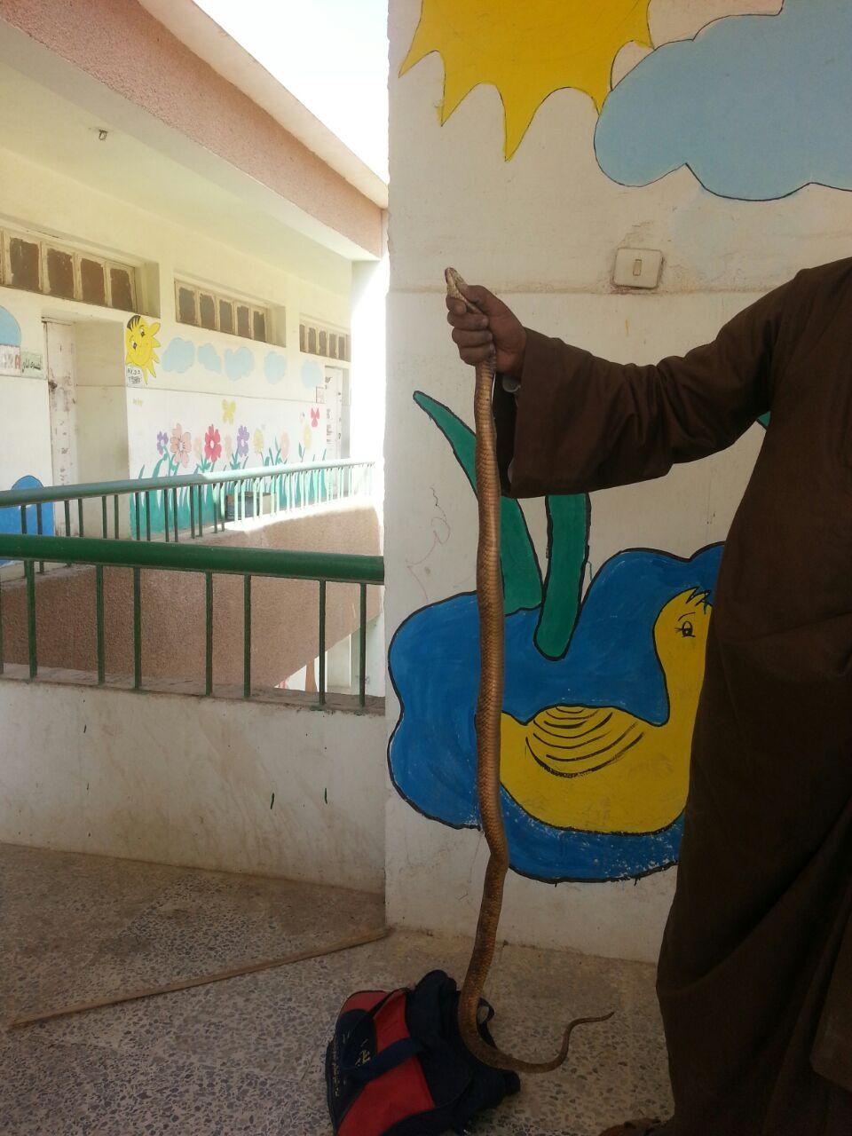 بالفيديو والصور.. ثعابين كبيرة في مدرسة بـ 15 مايو.. وذُعر أولياء الأمور مع حلول الدراسة