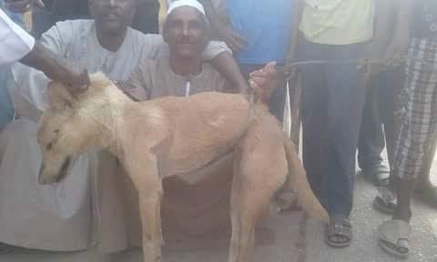 «بلانة» قرية نائية بأسوان تحاصرها الحيوانات الضالة «والأهالي»:نواجه الموت بسببها (صور)