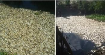 بالصور.. نفوق جماعي للأسماك في إحدى قرى المحمودية بالبحيرة