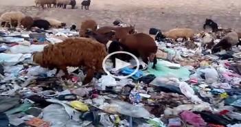 ▶️بالفيديو.. خراف تتغذى على تجمعات كثيفة للقمامة بالوراق.. وأطفال ينبشونها
