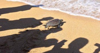 نشطاء حماية البيئة يعيدون سلحفاة نادرة إلى البحر خلال حملة نظافة وتوعية بالإسكندرية (صور)