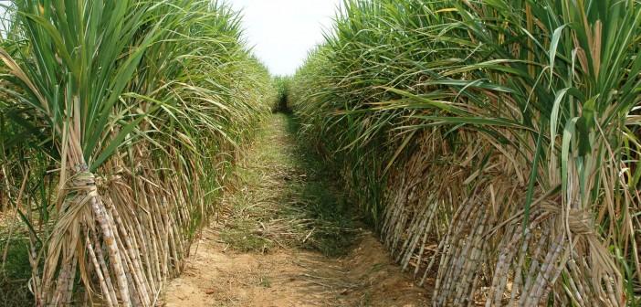 مزارعو القصب يطالبون الدولة بزيادة سعر شراء الطن من 500 لـ1000 جنيه